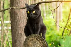 Cute bombay black cat with yellow eyes sits on a log in spring, summer forest in sunlight. Outdoor, nature stock image