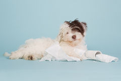 Cute boomer puppy with toilet paper. On a light blue background Royalty Free Stock Images
