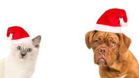 Cute bordeaux dog and rag doll baby cat portrait wearing santa`s hat Royalty Free Stock Photos