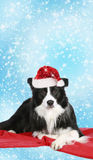 Cute border collie with christmas hat. On red blanket royalty free stock images