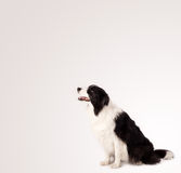 Cute border collie with copy space Stock Image