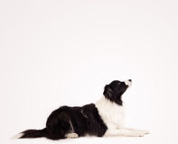 Cute border collie with copy space Royalty Free Stock Images