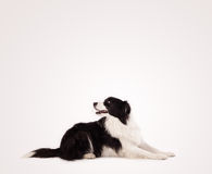 Cute border collie with copy space Royalty Free Stock Photography