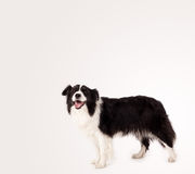 Cute border collie with copy space Stock Images