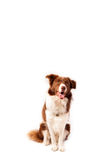 Cute border collie with copy space Royalty Free Stock Image