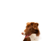 Cute border collie with copy space Stock Photo