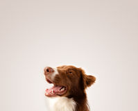 Cute border collie with copy space Stock Photos