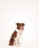 Cute border collie with copy space Royalty Free Stock Photos