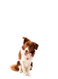 Cute border collie with copy space Royalty Free Stock Photo