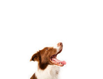 Cute border collie with copy space Stock Photography