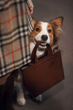 Cute border collie dog holds a bag royalty free stock photos
