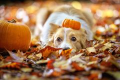 Cute border collie dog with pumpkins royalty free stock photo
