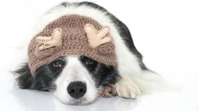 CUTE BORDER COLLIE DOG LYING DOWN WEARING A CHRISTMAS REINDEER H. AT ISOLATED ON WHITE BACKGROUND. STUDIO SHOT. COPY SPACE royalty free stock images