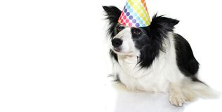 CUTE BORDER COLLIE DOG WEARING A COLORED POLKA PARTY HAT LYING D stock image