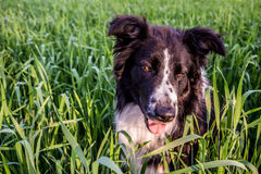 Cute Border Collie having Fun in the green weeds. Royalty Free Stock Photography