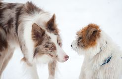 Cute border collie meets jack russel terrier Royalty Free Stock Photography
