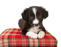 Cute border collie puppy Stock Images