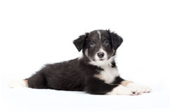 Cute border collie puppy Royalty Free Stock Images