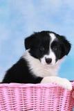 Cute border collie puppy in a basket Stock Photos