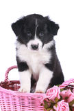Cute border collie puppy in a basket Royalty Free Stock Photography