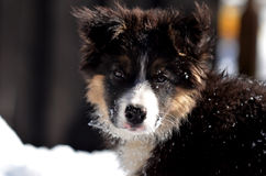 Cute Border Collie puppy portrait Stock Image