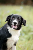 Cute border collie puppy portrait Royalty Free Stock Photos