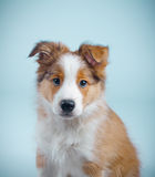 Cute border collie puppy Royalty Free Stock Image