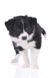 Cute border collie puppy standing on white background Stock Photos