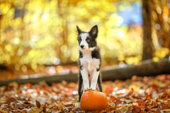 Cute border collie puppy stays on pumpkin royalty free stock photography