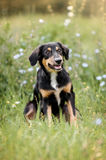 Cute border collie puppy Royalty Free Stock Photo