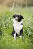 Cute border collie puppy Stock Image