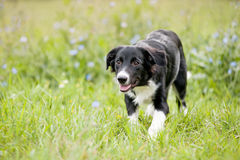 Cute border collie puppy walks Stock Photos
