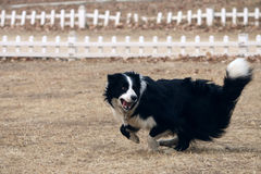 ,a cute Border collie:run Stock Images