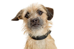 Cute Border Terrier Dog Closeup stock photography