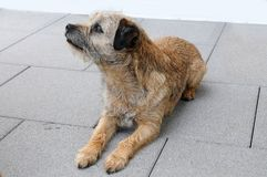 Cute border terrier observing something Royalty Free Stock Photos