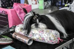 Cute bored Shih-Tzu lying on a table at a dog show stock images