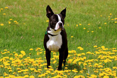 Cute boston terrier out in a field of flowers. Boston terrier puppy out in a field of yellow flowers and green grass Stock Photos