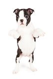 Cute Boston Terrier Puppy Begging Royalty Free Stock Photos