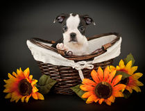 Cute Boston Terrier Puppy Stock Photography