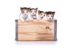 Cute Box of Kittens Up for Adoption Royalty Free Stock Images