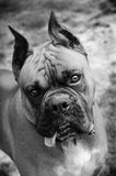 Cute boxer. A black and white portrait of a cute boxer dog royalty free stock photography