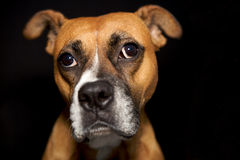 A cute boxer making a funny face Royalty Free Stock Images