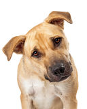 Cute Boxer Mix Dog Closeup Royalty Free Stock Photography