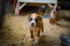 Cute Boxer Puppies stock image