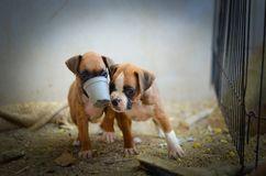 Cute Boxer Puppies stock images