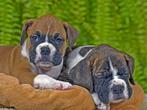 Cute Boxer puppies. Two Boxer Puppies few weeks old laying on blanket, one sleeping Stock Image