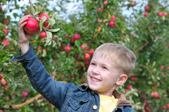 Cute boy in apple orchard royalty free stock image