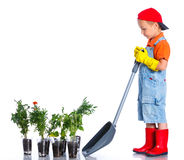 Cute boy gardener. Planting seeds and seedlings of tomatoes and vegetable.  on the white background stock photography