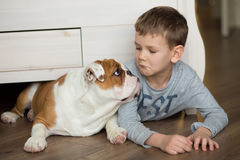 Cute boy plays on the floor on a carpet with puppies of English bulldog Stock Photos
