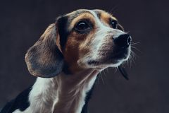 Portrait of a cute breed dog on a dark background in studio. Stock Images